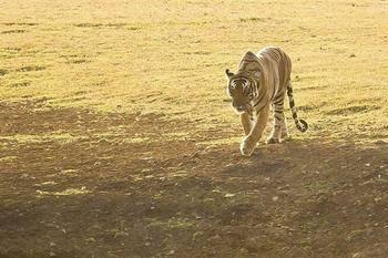 野牛一发飙,老虎变病猫