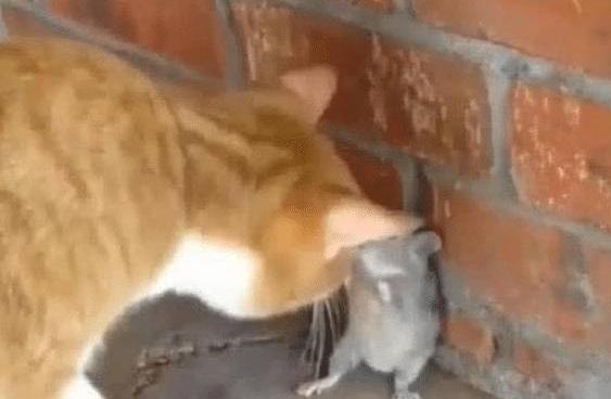 抓拍:老鼠刚出洞遇到猫